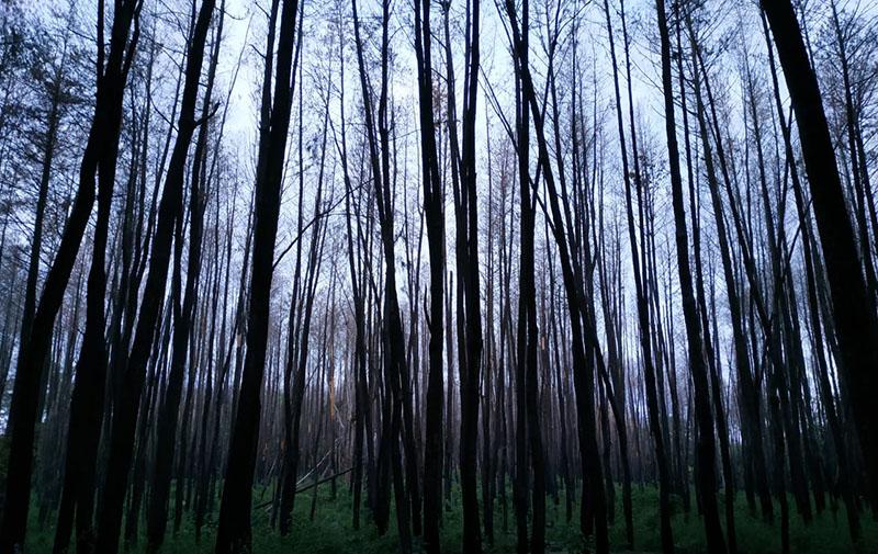 Ternyata Pohon Pinus Bisa Jadi Alternatif Pengobatan Stroke, dan Masalah Kesehatan Lainnya – FAJAR 3