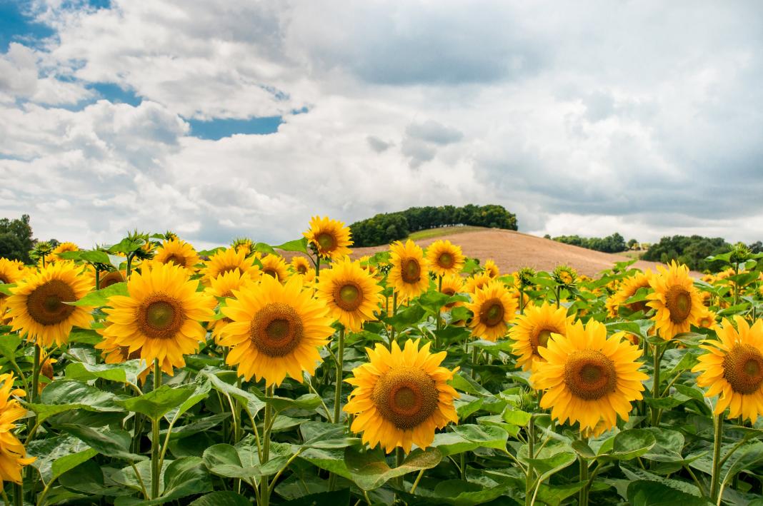 Manfaat yang Tersimpan Dalam Bunga Matahari-Dunia Wanita