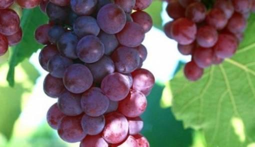 Manfaat Anggur untuk Kesehatan, Cegah Masalah Kulit dan Rambut Rontok – FAJAR 2